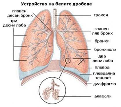 Устройство на белите дробове - изображение