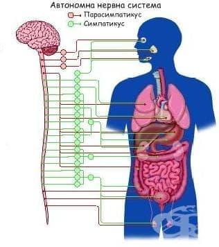 Вегетативни функции на нервната система - изображение