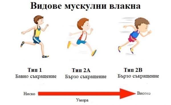Видове мускулни влакна - изображение