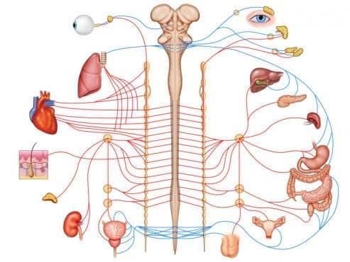 Влияние на ВНС върху дейността на различни органи и системи - изображение