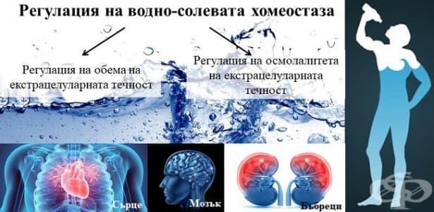 Регулация на водно-солевата хомеостаза - изображение