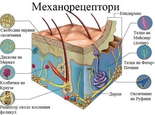 Механорецептори - изображение