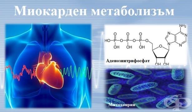 Миокарден метаболизъм - изображение