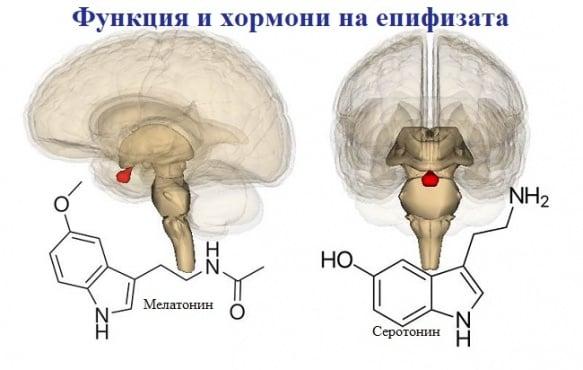 Функция и хормони на епифизата - изображение
