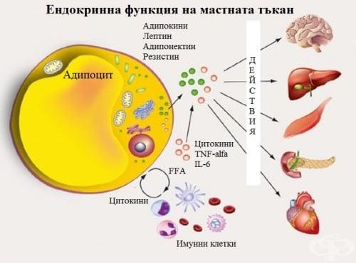Ендокринна функция на мастната тъкан - изображение