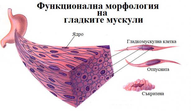 Функционална морфология на гладките мускули - изображение