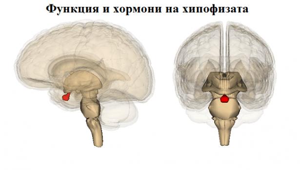 Функция и хормони на хипофизата - изображение