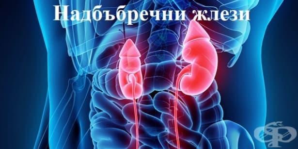 Функция и хормони на надбъбречните жлези - изображение