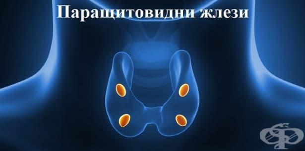 Функция и хормони на паращитовидните жлези - изображение