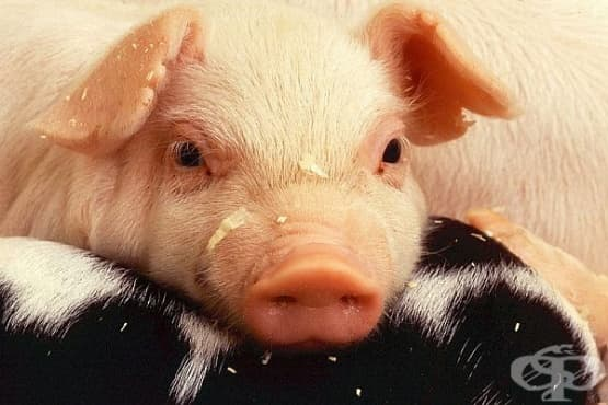 Африканска чума по свинете - разпространение, диагностика, риск за хората и превенция - изображение