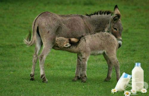 Магарешкото мляко - полезно за малки и големи. Научете повече за този скъпоценен продукт от Майката Природа! - изображение