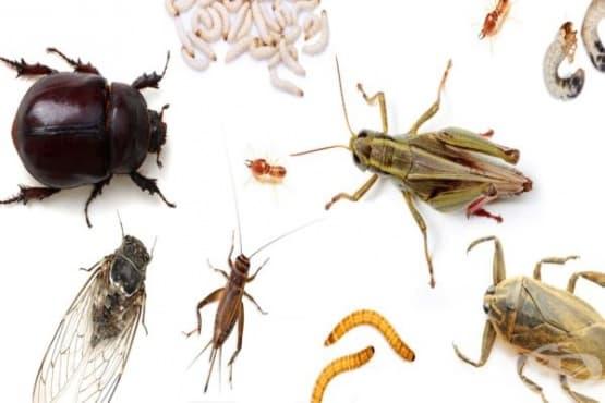 Ядливи насекоми - видове, вкус и здравни ползи - изображение