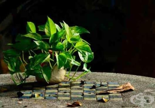 Отглеждайте 10 растения, които създават перфектен микроклимат в дома /2 част/ - изображение