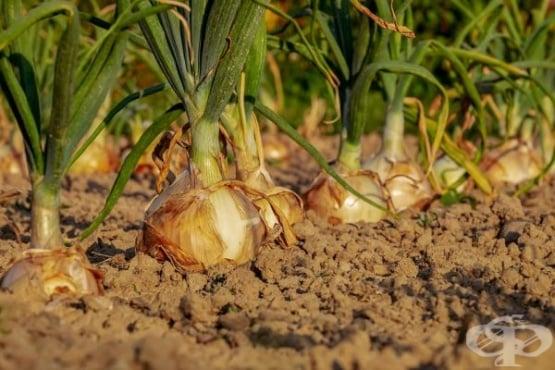 Научете 10-те тайни за богата реколта от лук - изображение