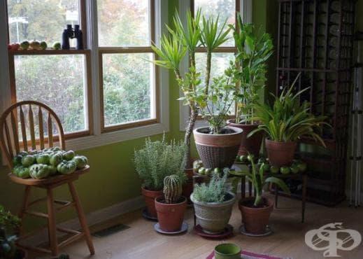 Използвате 3 стайни растения за освежаване на въздуха в дома и насърчаване на здравето - изображение