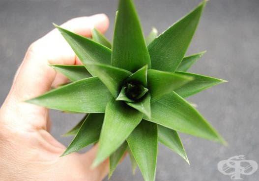 Засадете си домашен ананас от листата на плода - изображение