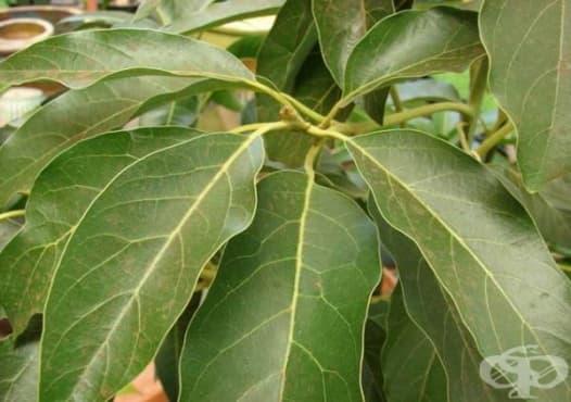 Елиминирайте камъните в бъбреците с напитка от авокадови листа - изображение