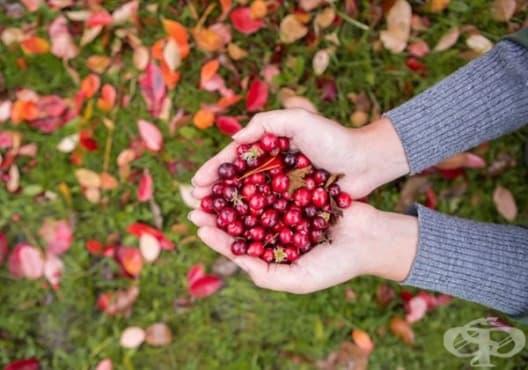 Облекчете диабета с чай от листа на червена боровинка - изображение
