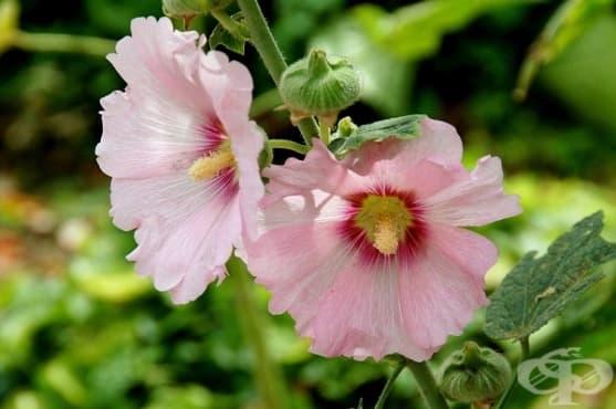 При гърлобол, суха кашлица или разтройство - сварете си корен от ружа - изображение