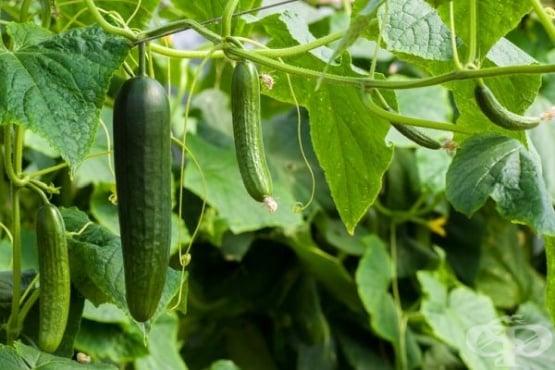 Как да увеличим добива на краставици по естествен път - изображение