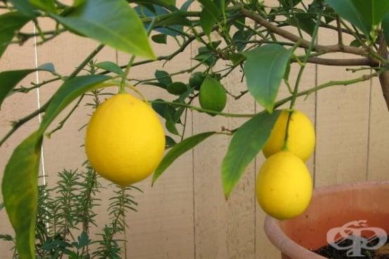 Как да си захванем лимон от семка - изображение
