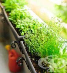 Можете да събирате билки, да ги отглеждате или да си ги купувате от аптеката - изображение