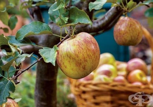 8 овощни дръвчета, които може да отглеждате в домашни условия - изображение