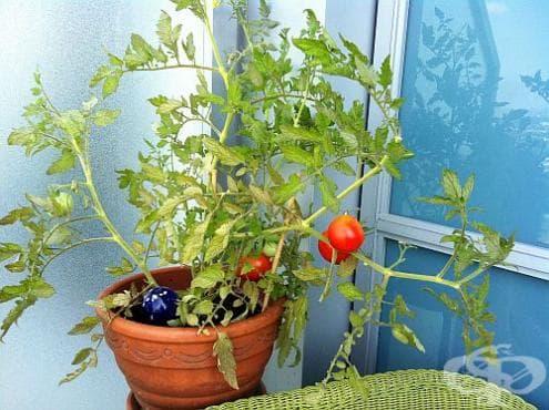 Използвайте доматите за отблъскване на комари - изображение