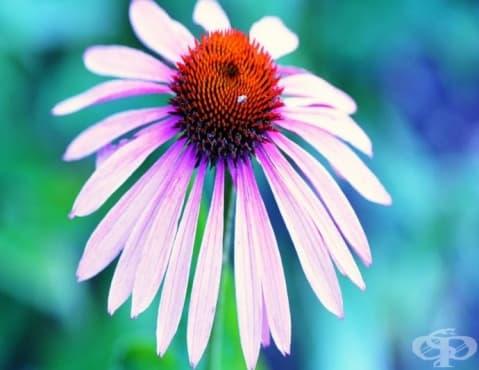 Укрепете имунната система с чай от ехинацея - изображение