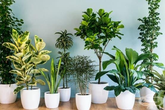 Използвайте най-ефективните стайни растения за пречистване на въздуха - изображение