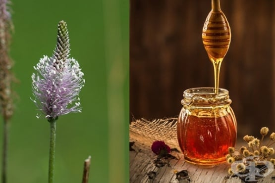 Ако пушите или имате възпаление на дихателните пътища, хапвайте живовляк с мед - изображение