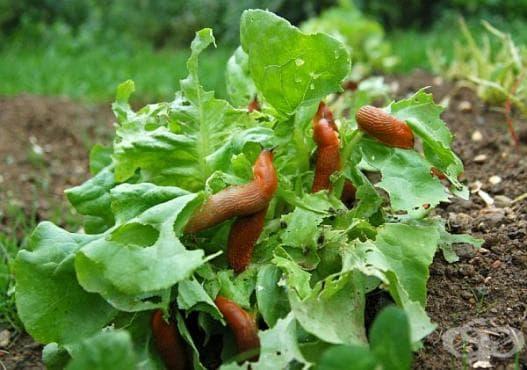 Използвайте английска сол, за да защитите градината си от охлюви - изображение