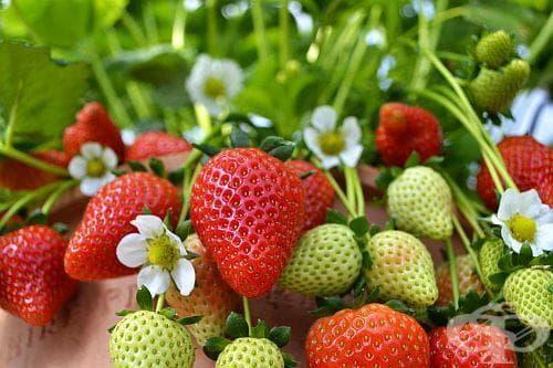 Как да изкараме най-голяма реколта от ягоди? - изображение