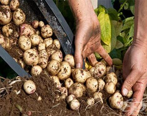 Как да отгледаме богата реколта от картофи в бидон? - изображение