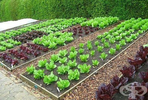 Как да отглеждаме зеленчуци без химикали? - изображение