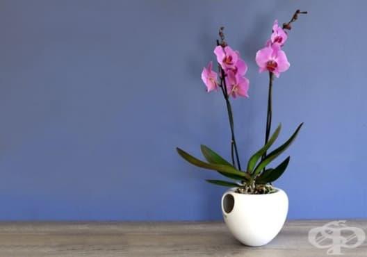 Как да поливате орхидеите през зимата, за да не измръзнат и да започнат да цъфтят - изображение