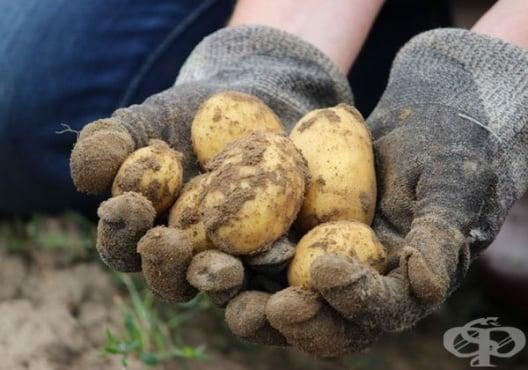 Как да отгледаме богата реколта от картофи в кофа - изображение