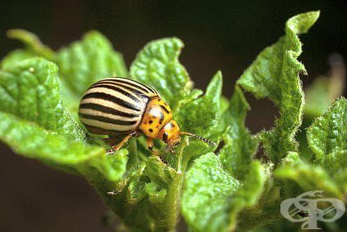 Как да предпазим градината си от колорадски бръмбари? - изображение