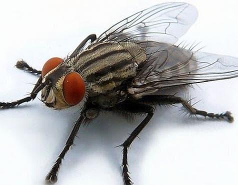 Как да се отървем от мухите без препарати и палки за мухи? - изображение