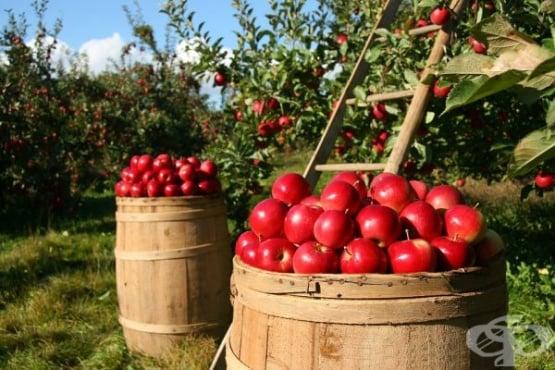 Как да си захванем ябълково дръвче от семка - изображение