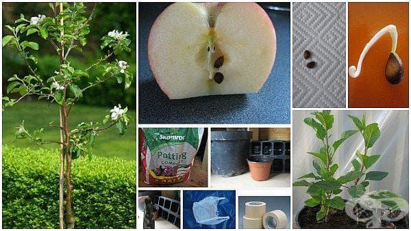 Как да си захванем ябълково дръвче от семка? (първи стъпки) - изображение