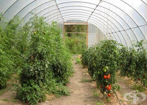 Как да увеличим добива на домати в оранжерията си? - изображение