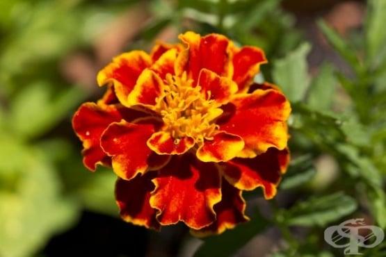 Как да засеем тагетис (турта) за предпазване на градината от вредители - изображение