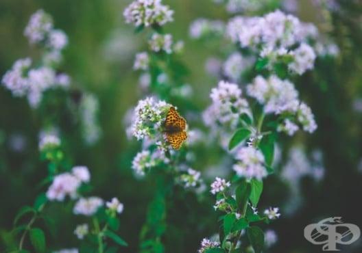 Консумирайте чай от риган срещу астма, кашлица и бронхит - изображение