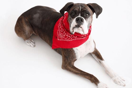 Направете противопаразитна каишка за куче с етерични масла - изображение