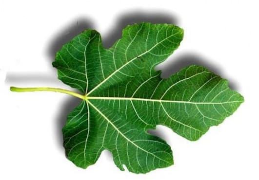 Използвайте отвара от смокинови листа против хемороиди - изображение