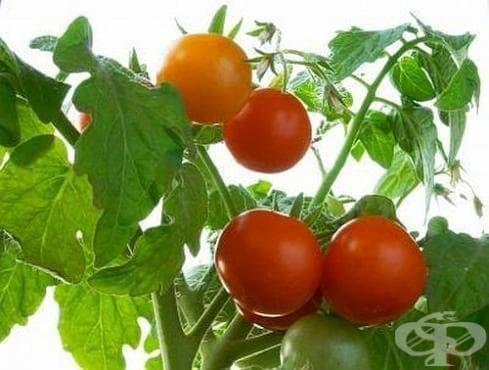 Направете си магически домашен тор за подхранване на доматите - изображение