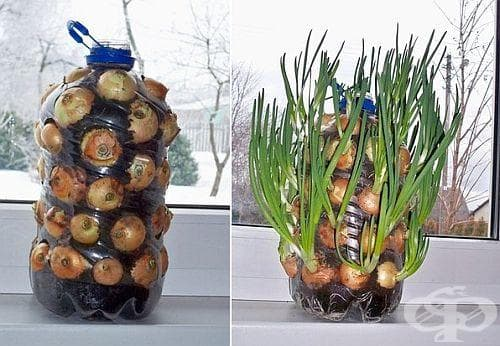Направете си сами зелен лук в бутилка - изображение