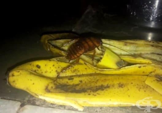 Направете си безвреден капан за хлебарки от вазелин и бананова кора - изображение