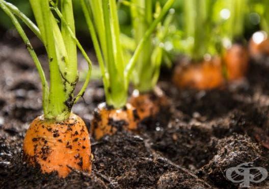 Научете 5-те тайни за добра реколта от моркови - изображение